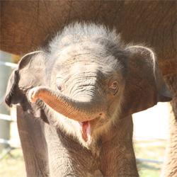 Baby_elephant_1